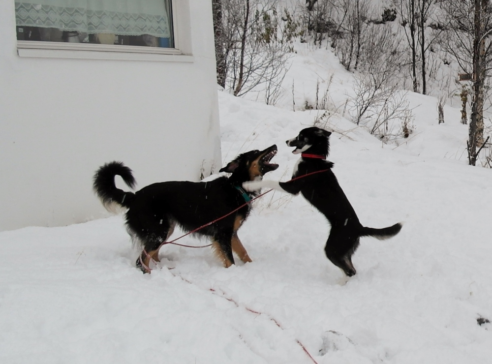 Alaska husky and friend playing