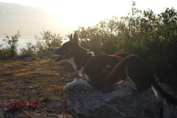 Husky in sunset