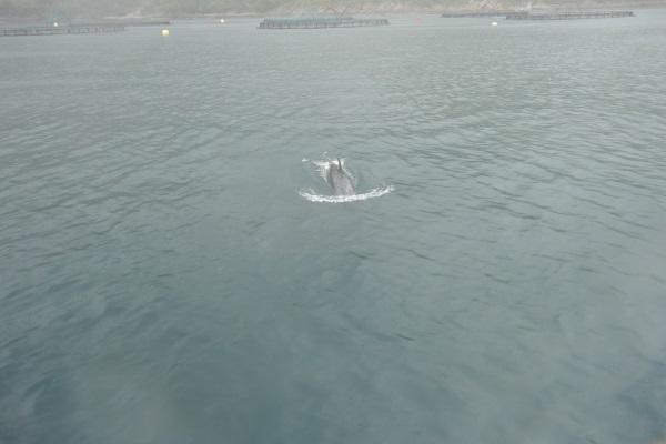 Grindhvalen i Melfjord
